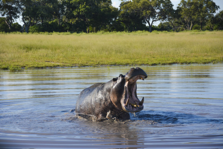 Nijlpaard - Luxe Safari Botswana | Luxe Safari
