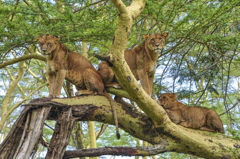 Leeuwen - Luxe Safari Kenya | Luxe Safari