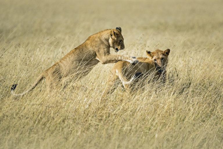 Leeuwen - Luxe Safari Tanzania | Luxe Safari