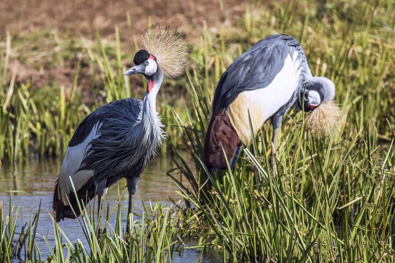 Kraanvogels - Luxe Safari Oeganda | Luxe Safari