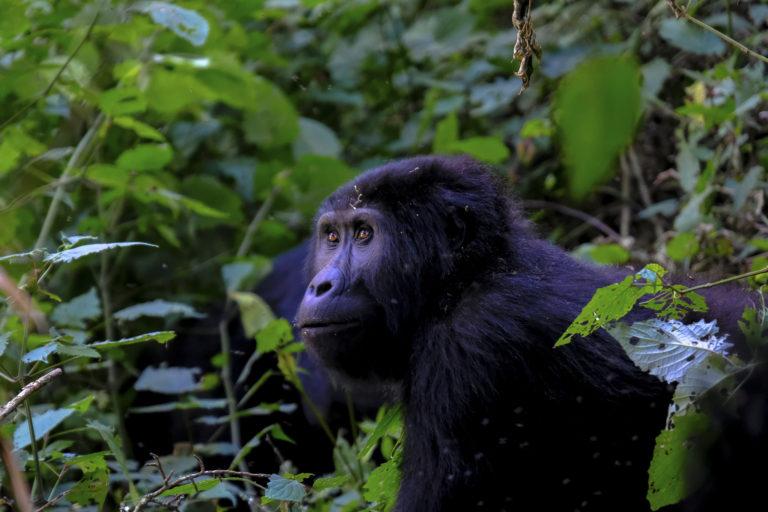 Berggorilla - Luxe Safari Oeganda | Luxe Safari