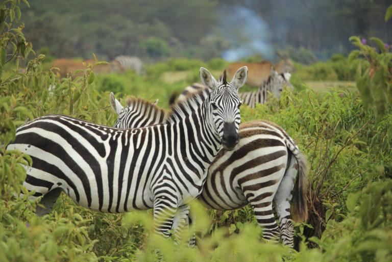 Zebra's - Luxe Safari Kenya | Luxe Safari