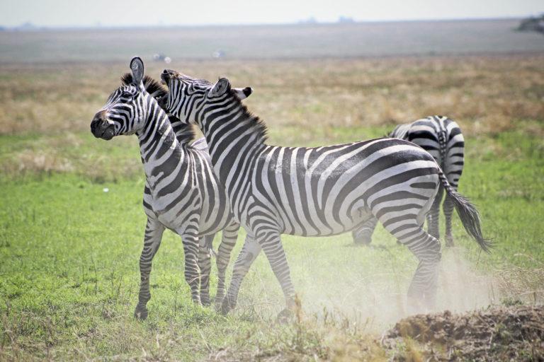 Zebra's - Luxe Safari Tanzania | Luxe Safari