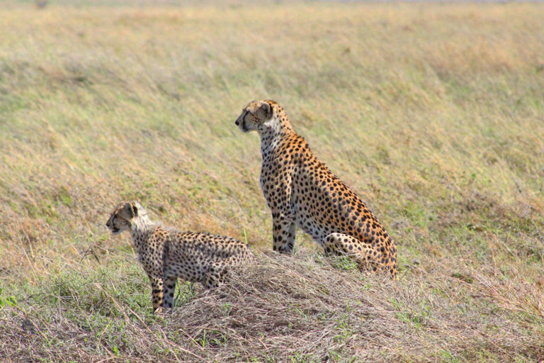 Cheetah - Luxe Safari Tanzania | Luxe Safari