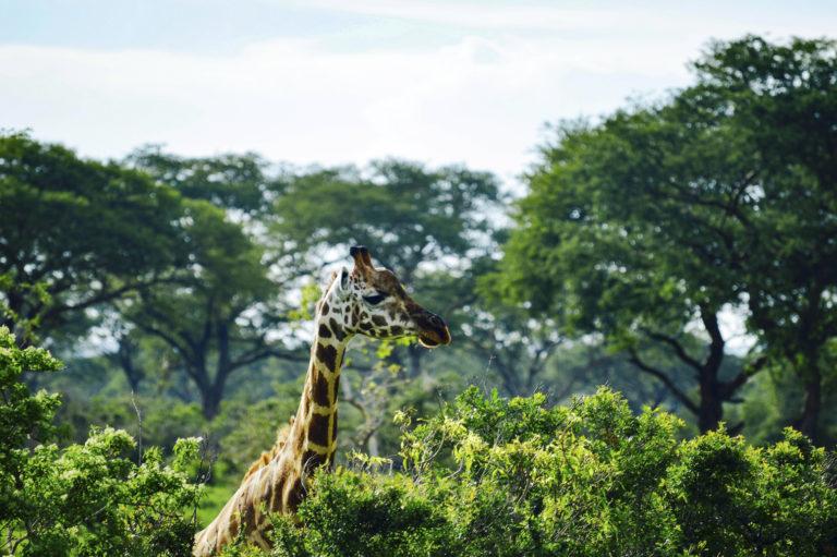 Giraf - Luxe Safari Oeganda | Luxe Safari