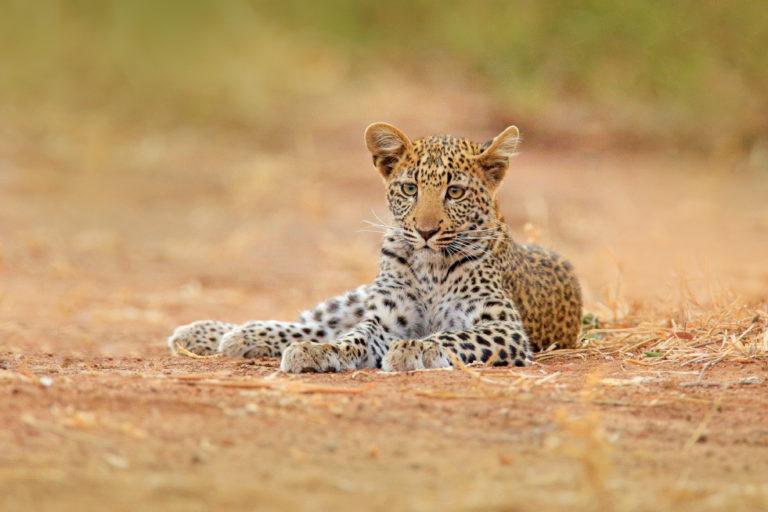 Luipaard - Luxe Safari Zimbabwe | Luxe Safari