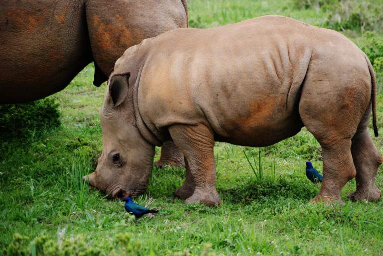 Neushoorns - Luxe Safari Zuid-Afrika | Luxe Safari